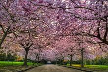 Cherry Tree Boulevard With Pin...