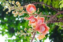 Shorea Robusta Flower Or Canno...