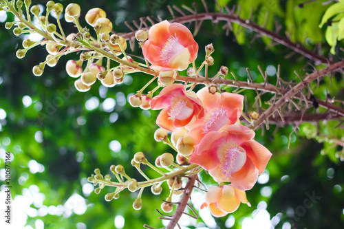 Fototapeta Shorea robusta flower or cannonball tree branch hanging on tree in garden under view background obraz