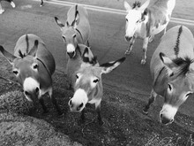 Visiting Roadside Burros On Route 66