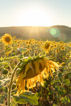 One Drooping Sunflower In A Field Of Blooming Flowers.