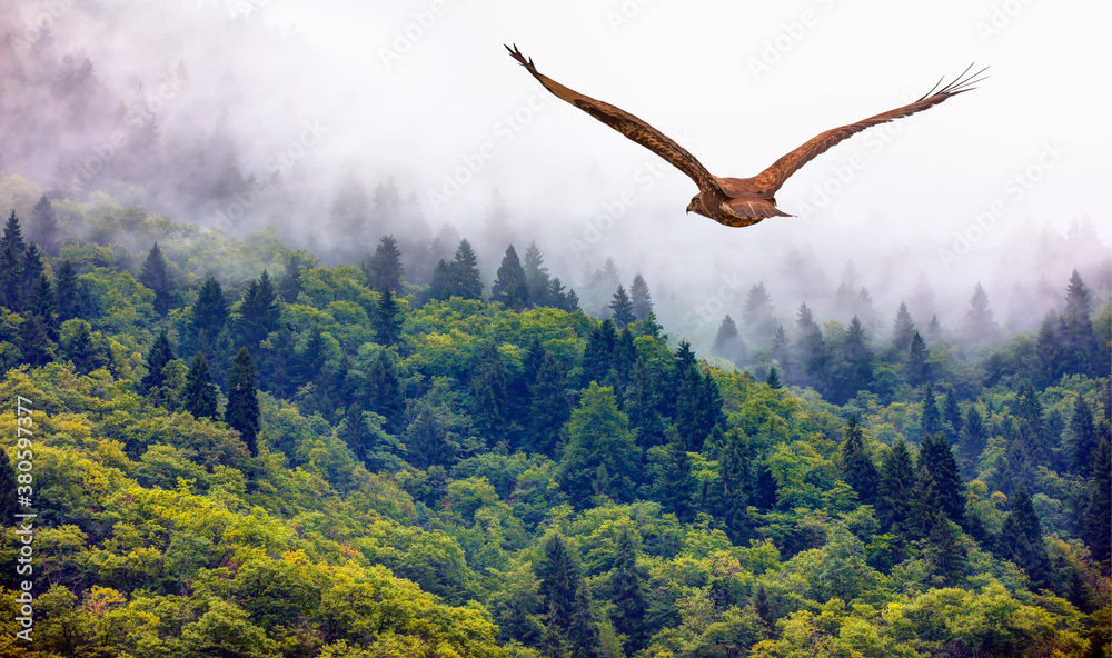 Fototapeta Fog covering on the mountain forest with red tailed hawk