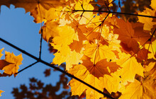 Yellow Maple Leaves Over Blue ...