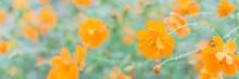 Panoramic Blooming Yellow Sulfur Cosmos Bush With Rain Drops At Organic Garden Near Dallas, Texas, USA