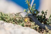 Black Western Whip Snake, Hier...