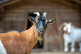 Portrait of a goat at a farm