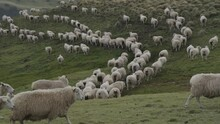 View Of A Sheep Hed Walking Al...