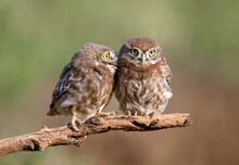 Adult Birds And Little Owl Chicks (Athene Noctua) Are Photographed At Close Range Closeup On A Blurred Background.