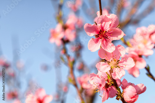 Obraz Peach blossoms blooming in the spring garden, China - fototapety do salonu