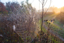 Wet Spider Web On The Bush In A Rays Of Morning Sun