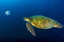 Green Turtle Underwater While ...