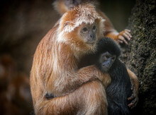 Portrait Of An East Javan Langur A Type Of Monkey With Red Hair