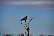 A Large Wedge-tailed Eagle Per...