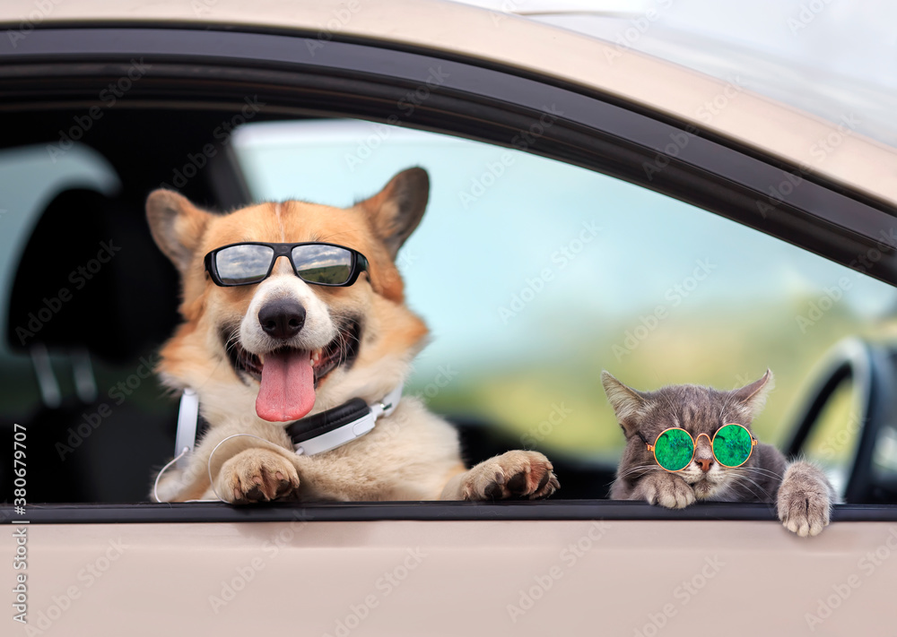 trendy Corgi dog and a tabby cat in sunglasses poked their muzzles and paws out of the window of a passing car during the ride