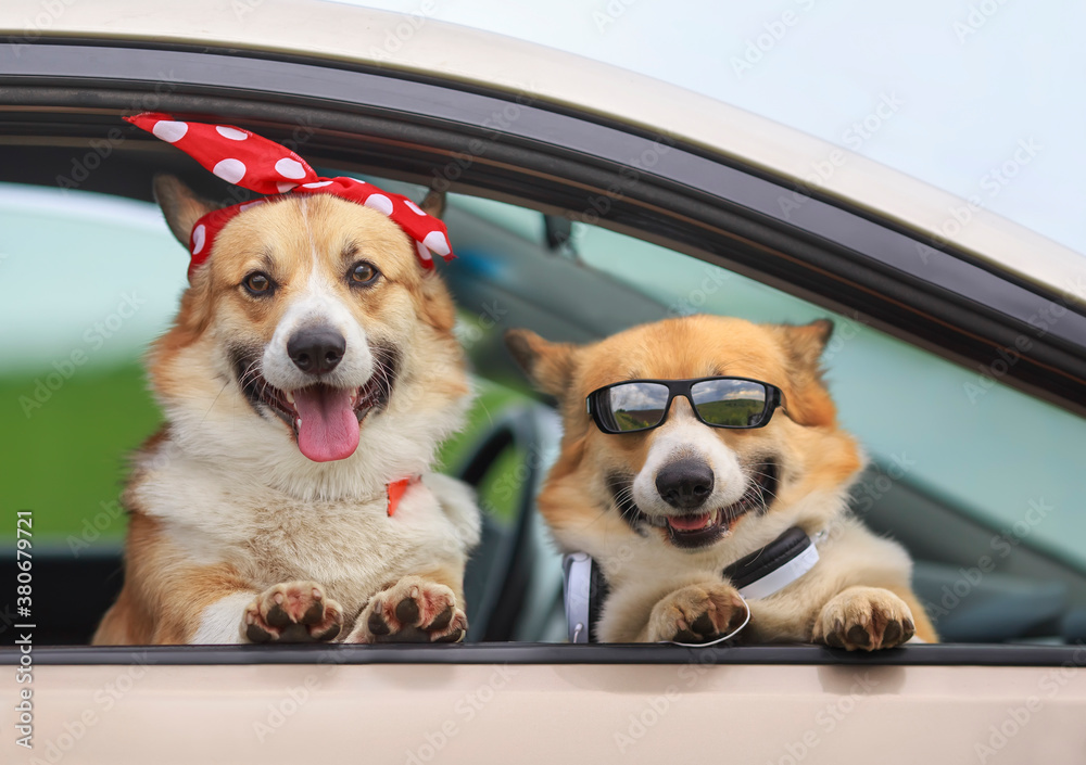 two happy Corgi dogs poked their muzzles and paws out of the window of a passing car during the ride