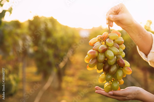 Photo Woman holding cluster of ripe grapes in vineyard, closeup