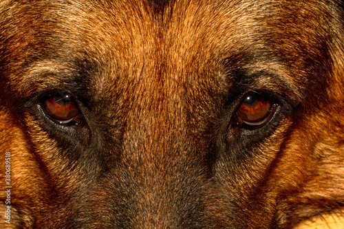 Fotografie, Obraz upright and straight shit of a tan German shepherd dog with light brown eyes, hazelnut