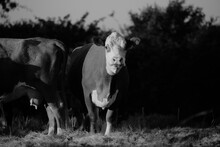 Hereford Beef Cattle On Farm I...