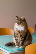 Fluffy Cat Sitting On Table