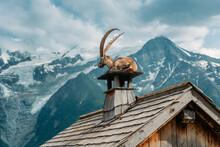 Ibex Goat Relaxing