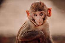 Cute Little Rhesus Macaque Baby Sitting On Stone In Forest In India Looking At Camera
