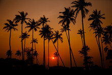 Silhouettes Of Tall Palm Trees...
