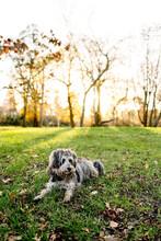 Scruffy Dog Taking A Rest In A...