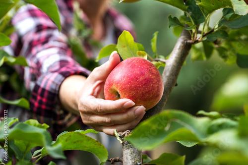Obraz na płótnie Farmer picking red apple from tree