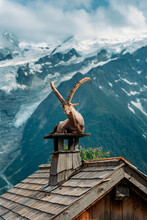 Ibex Goat Relaxing On A House Chimney
