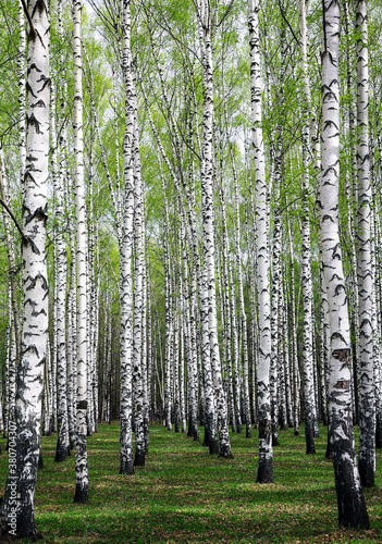 Fototapeta The first spring greenery on white birches in a sunny park obraz