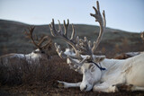 close up portrait of reindeer