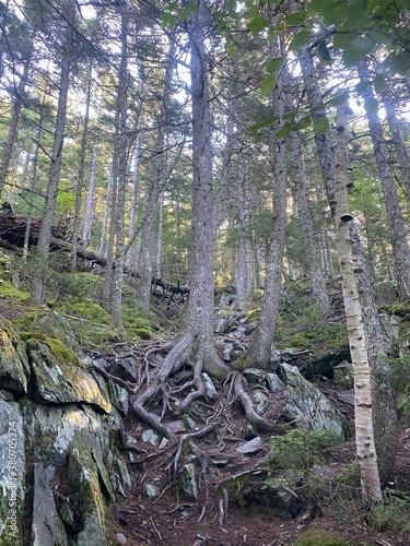 Fotografija Cool roots of a tree on the Appalachian Trail on Maine.