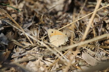 The Small Heath (Coenonympha P...