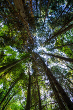 Tree Tops, Looking Up Into The Tree Canopy In A Forest