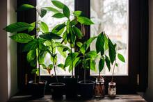 Avocado Plants At The Window