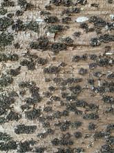 Closeup Of Norfolk Island Pine Bark Texture