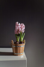 Pink Hyacinth Bulb