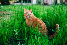 Ginger Cat Outdoor