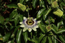 White, Purple And Yellow Flower Head Of The Passiflora Passionflower