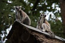 Lemurs Are Climbing In The Apenheul In Apeldoorn