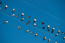 Barn Swallows On Power Line