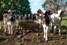 Dairy Calves