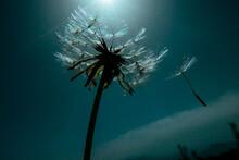 Dandelion Seeds Flying Off