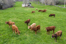 Small Herd Of Cattle On Pastur...