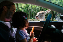 Father And Daughter Feeding A Fawn From Inside A Car