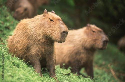 capybaras giant friendly rodent