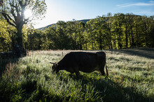 Cow Grazing In Morning Dew