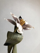 Tulip Flower, Blossom