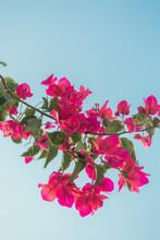 Pink Bougainvillea Flowers In Milos, Greece