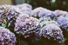 Purple Hydrangeas In Summer